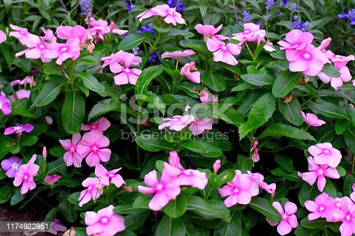 Native to Madagascar, Catharanthus roseus, commonly called periwinkle, Madagascar periwinkle or annual vinca, is an erect to spreading tender perennial in the dogbane family. It produces attractive bushy foliage that is covered by a profuse bloom of phlox-like flowers from summer to frost. The colors of flower range from pale pink, rose, hot pink, red, lilac to white.