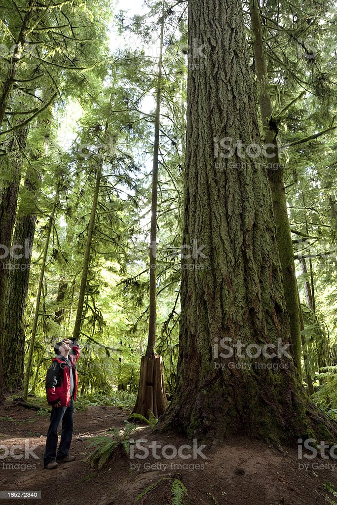 Cathedral Grove royalty-free stock photo