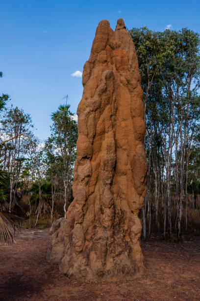 A cathedral termite mound in Australian outback A common type of the termite nest in the Australian outback isoptera stock pictures, royalty-free photos & images