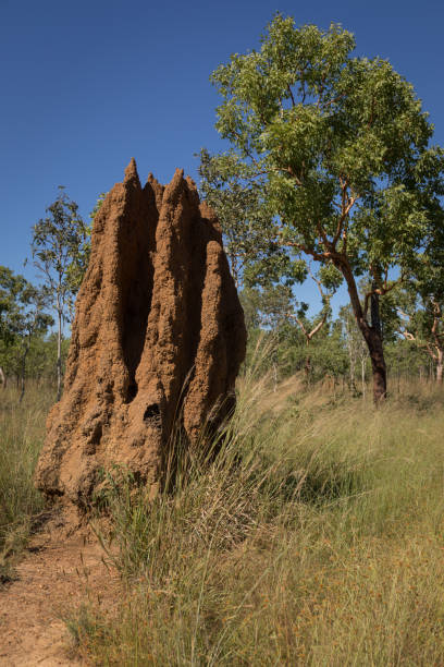 Cathedral termite mound stock photo