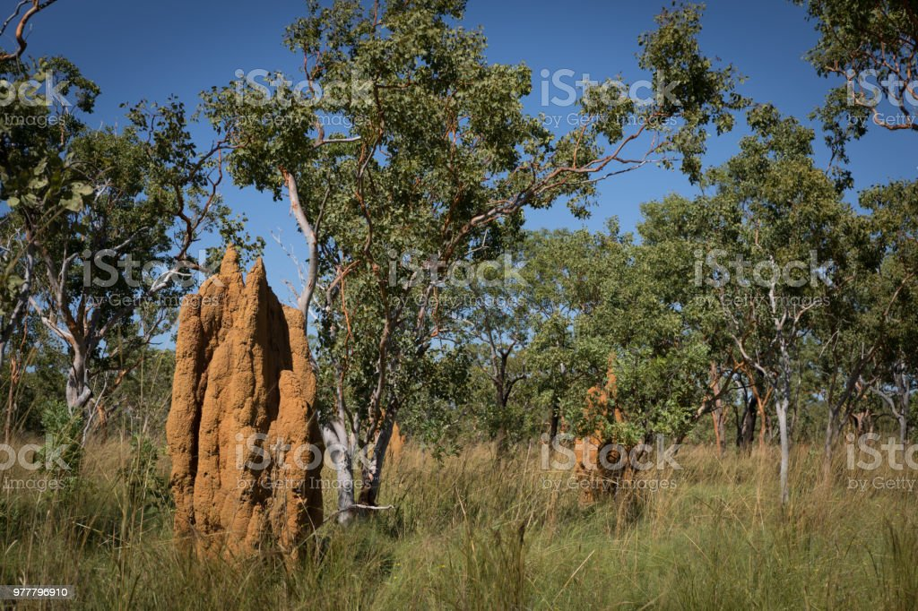 Cathedral termite mounds landscape photo with trees stock photo