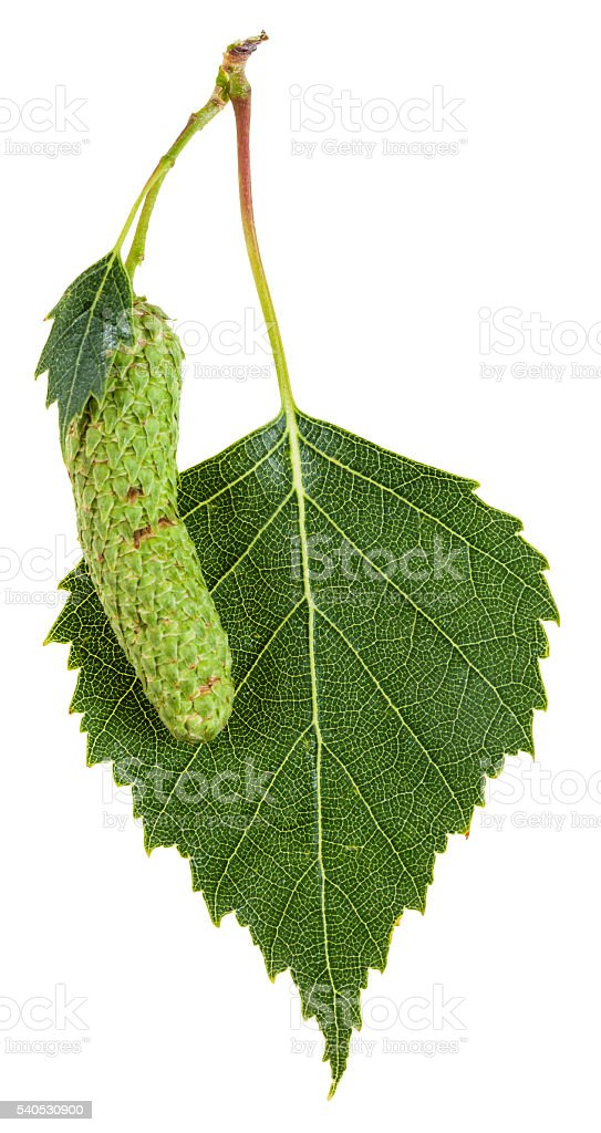 catkin and green leaf of birch tree isolated stock photo