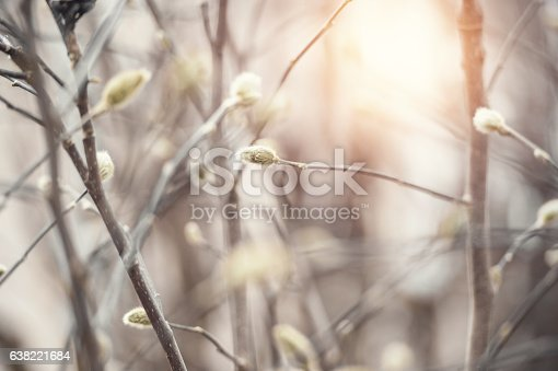 Catkin branches in early spring