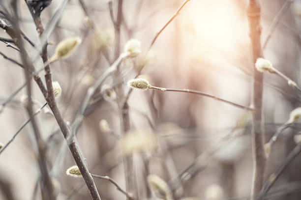 catkin branches in early spring - paysage mois de mars photos et images de collection
