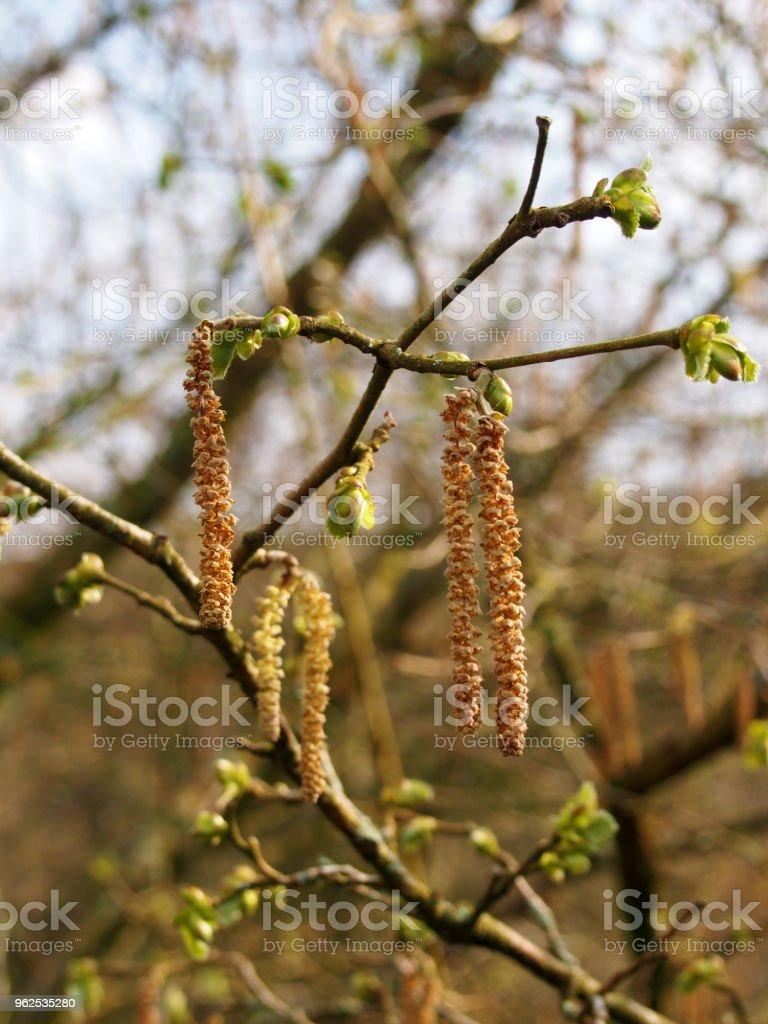 Amentilhos ou flores masculinas de uma vidoeiro de prata em abril - Foto de stock de Abril royalty-free