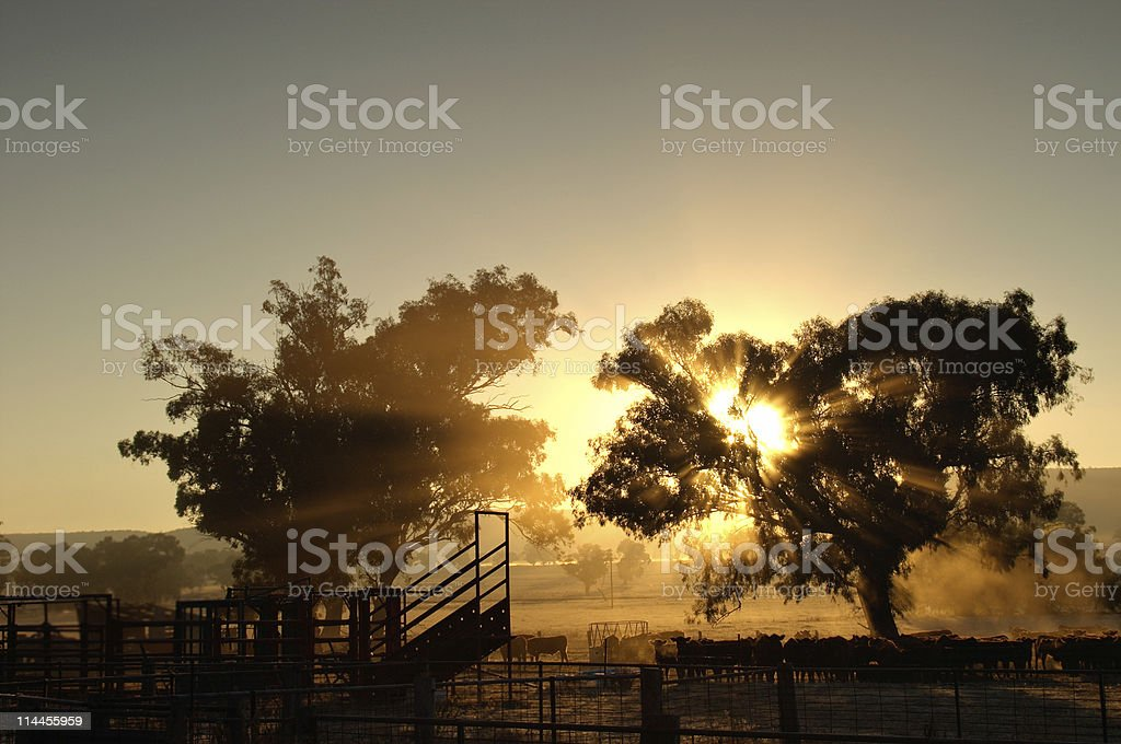 catlle in the morning stock photo