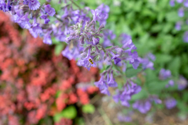 Catmint plant with marmalade fly Close-up of catmint plant with a tiny marmalade fly kathrynsk stock pictures, royalty-free photos & images