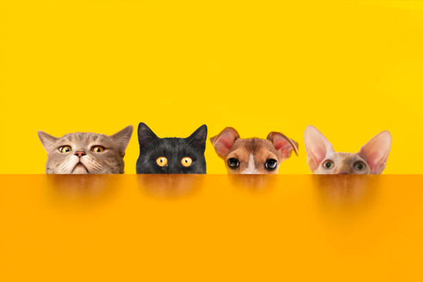 Cats and dogs behind the orange color desk. stock photo