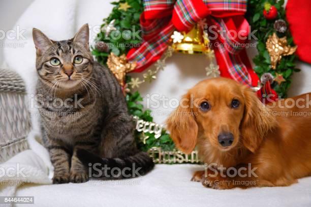 Cats and miniature dachshund picture id844644024?b=1&k=6&m=844644024&s=612x612&h=h2bhyhbgmygewqjkttnpnjuz bqkkqzemto9bojbhhq=