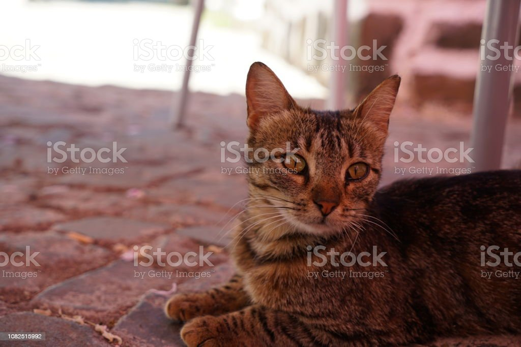 Wild cats are predominantly feral domestic cats in the Southern...