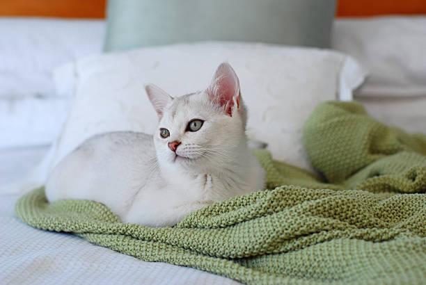 Cats beautiful white pure bred burmilla kitten on bed picture id182784281?b=1&k=6&m=182784281&s=612x612&w=0&h=mcqeayaatn48tbbtzjamxo0wufet4oiocqz pai u58=