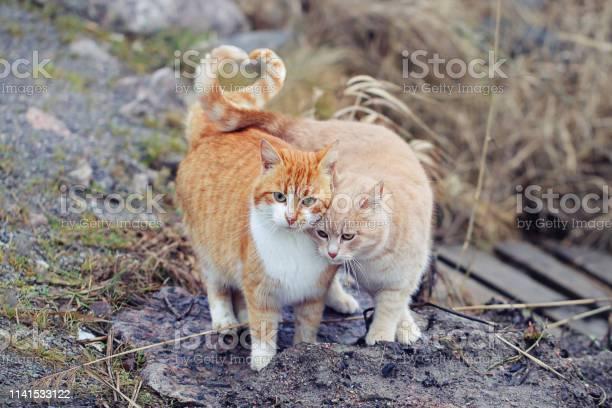 Cats couple falling in love two domestic cats together a very picture id1141533122?b=1&k=6&m=1141533122&s=612x612&h=sw4nk0j7jpb8fbozjvz8dl3x0uk9z bosu6ztdsx1yi=