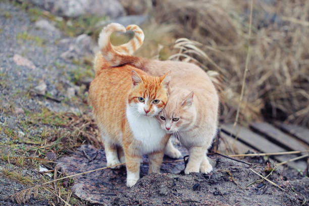 Cats couple falling in love. Two domestic cats together a very relationship outdoors. Cats couple falling in love. Two domestic cats together a very relationship outdoors. undomesticated cat stock pictures, royalty-free photos & images
