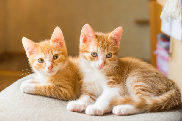Cats. Cute ginger kittens stock photo