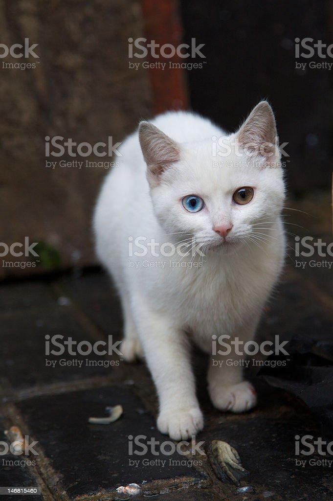 Cat's Eyes royalty-free stock photo
