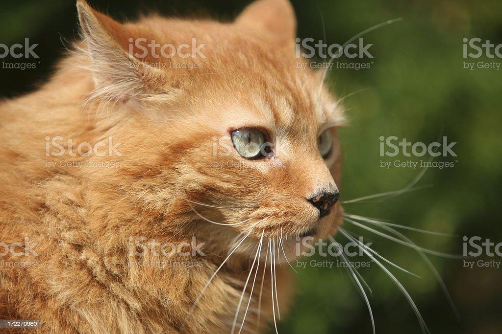 Cats Eyes royalty-free stock photo