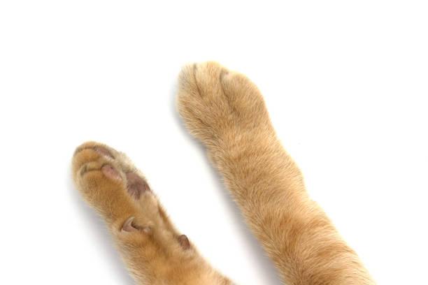 Cat's feet isolated on white background. stock photo
