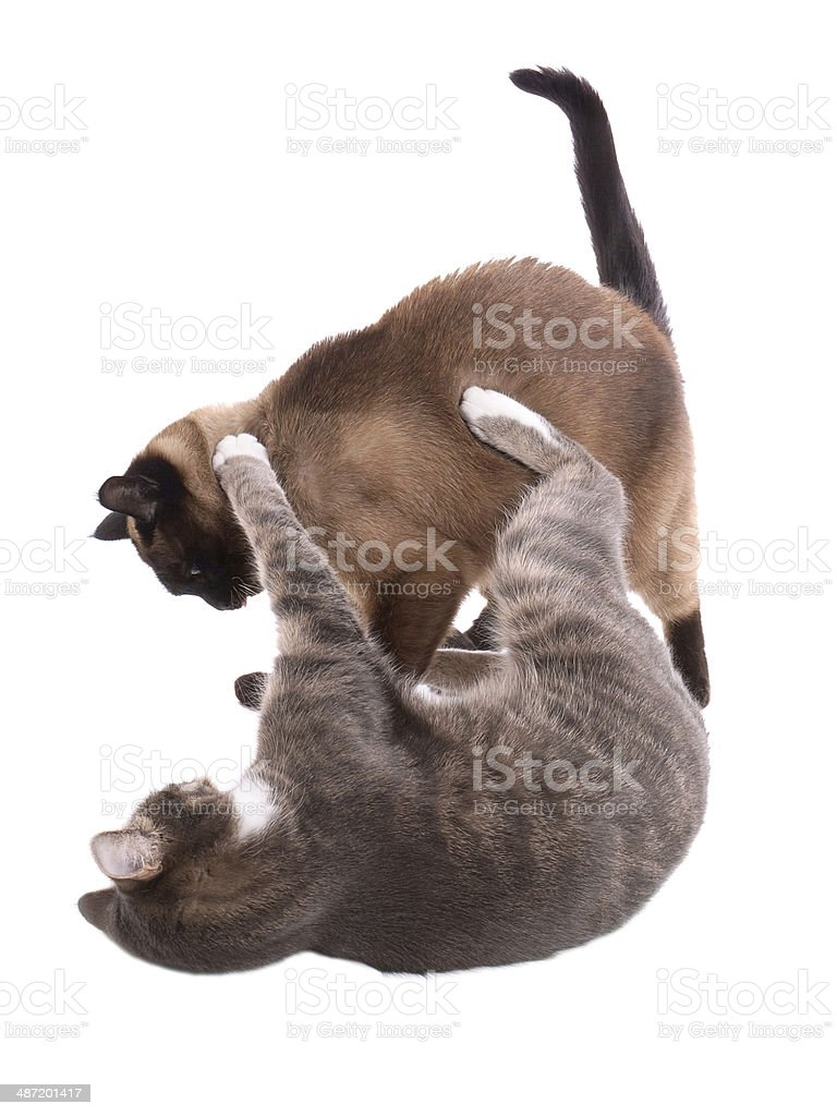 cats fighting stock photo