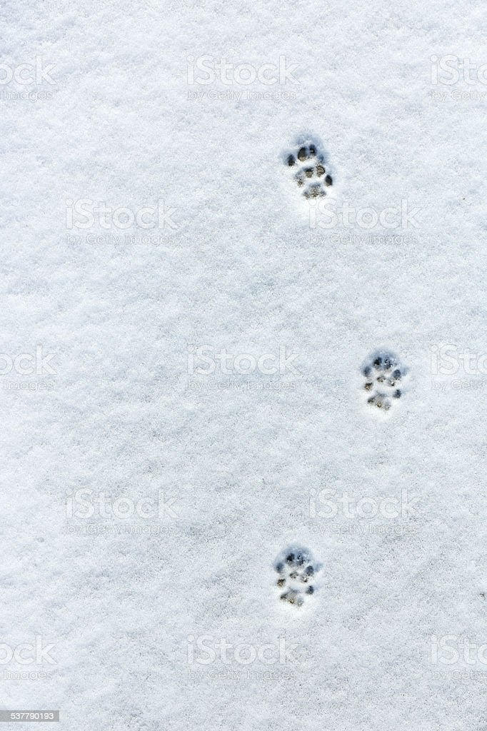 Cat's footprint in the snow stock photo