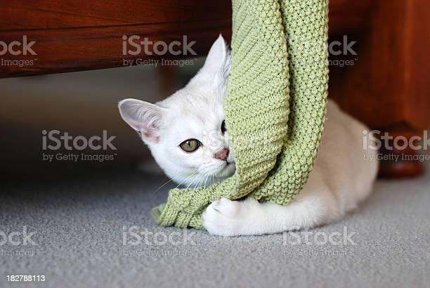 Cats gorgeous pure bred burmilla kitten with green blanket picture id182788113?b=1&k=6&m=182788113&s=612x612&h=kktfq1bojm63nleoc bfxvnayrgz0yb0mwyqtbrysc4=