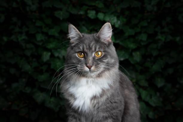 katzen efeu hintergrund - grau getigerte katzen stock-fotos und bilder