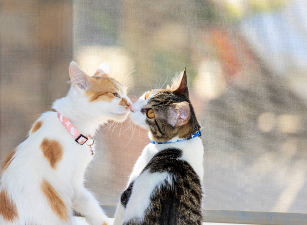 Cats Kissing stock photo