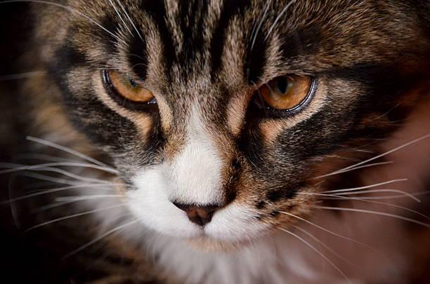Lucy Cat Hd