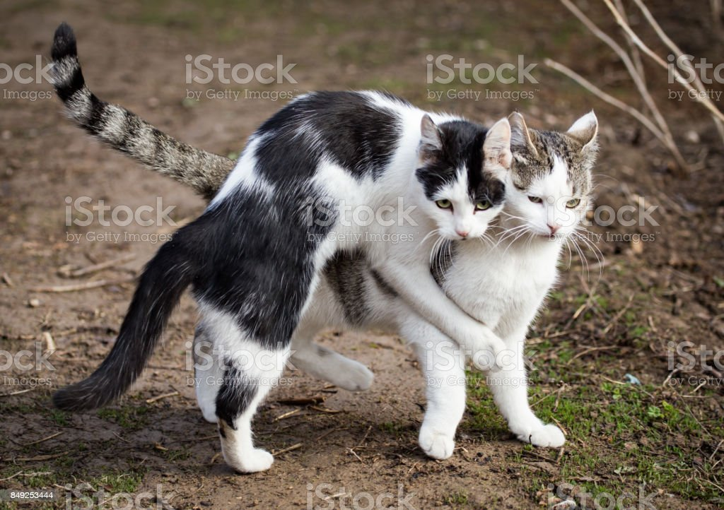 Cats make love in the spring outdoors stock photo