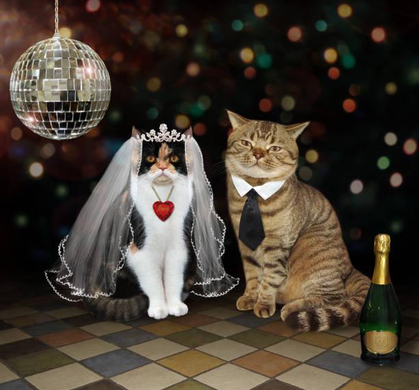 Cats newlyweds near a mirror ball picture id1153170049?b=1&k=6&m=1153170049&s=612x612&w=0&h=nqdcgf7ra42ajshzuj3aksjlswjetm5md irqeg4wog=
