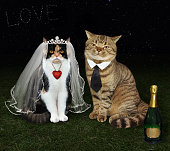 The cat's newlyweds is sittind on the meadow under the stars.The bottle of champagne is next to them.
