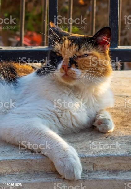 Cats of malta stray fluffy calico cat lying under the railing at picture id1180364623?b=1&k=6&m=1180364623&s=612x612&h=fyuy4jd b9jw dosn6reuw6ujctvghqav4mehoj0d6a=