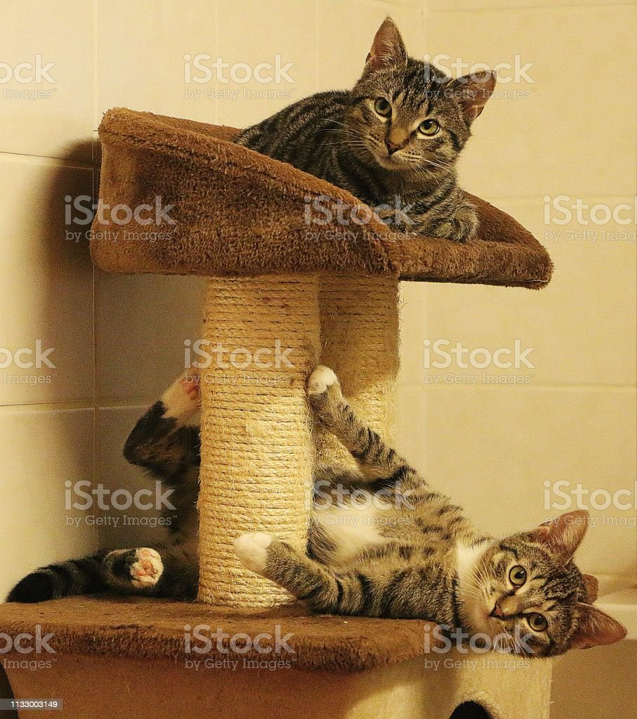 two beautiful cats are lying on a scratching post