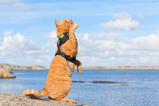katzen - katzengeschirr stock-fotos und bilder