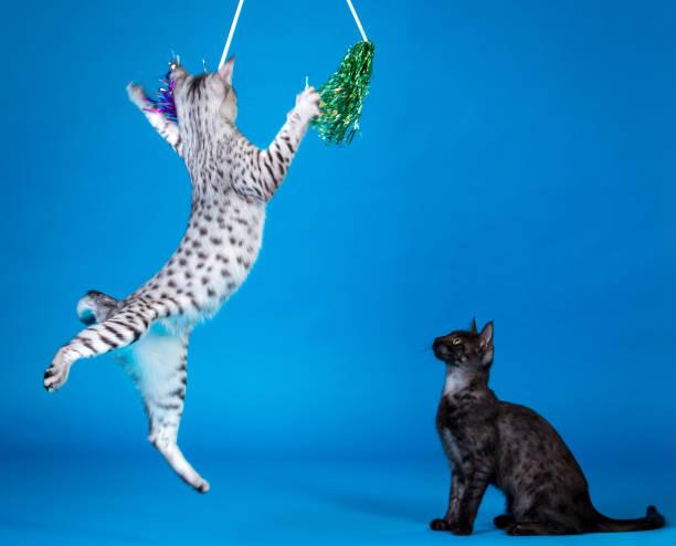 Cats play picture id860024382?b=1&k=6&m=860024382&s=612x612&w=0&h=1deejzxbmlxftfuul6o 3yekumiotr8gjo3sb5369li=