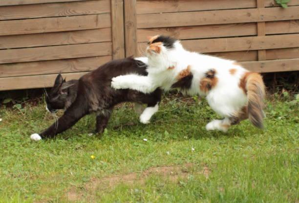 Cats playing in the garden picture id1281399413?b=1&k=6&m=1281399413&s=612x612&w=0&h=dyfep2bj4g7y0m7v05drwndzijysrtgbcohztoivi 0=