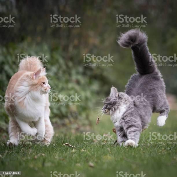 Cats playing picture id1146290606?b=1&k=6&m=1146290606&s=612x612&h=smpbjytbob w0wyugbkftlugok0icogdem3yc6rpjdi=