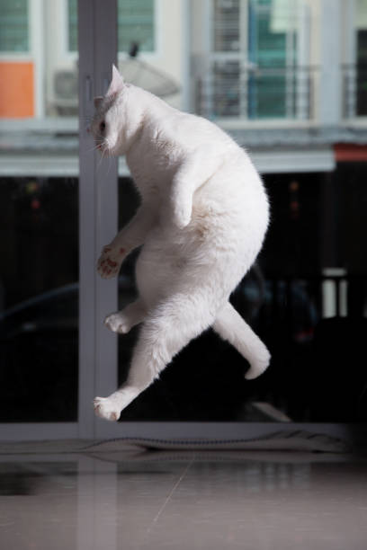 Cats stand up and jump to play with owners stop action white cat up picture id1168749200?b=1&k=6&m=1168749200&s=612x612&w=0&h=6uhvn6jjl74twqydovrqjkpnen usb6bk3wvsd ymzu=