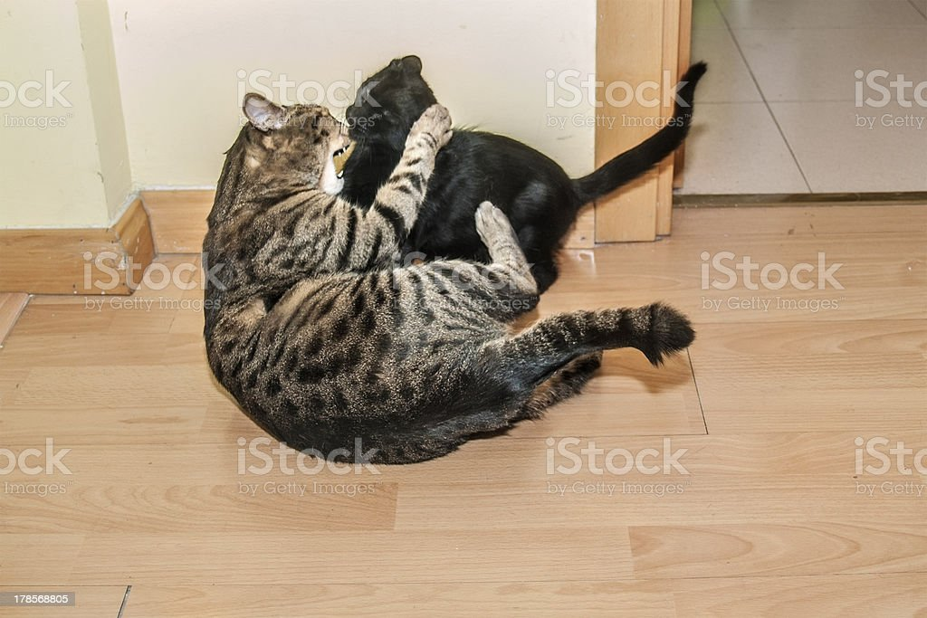 Cats struggling royalty-free stock photo