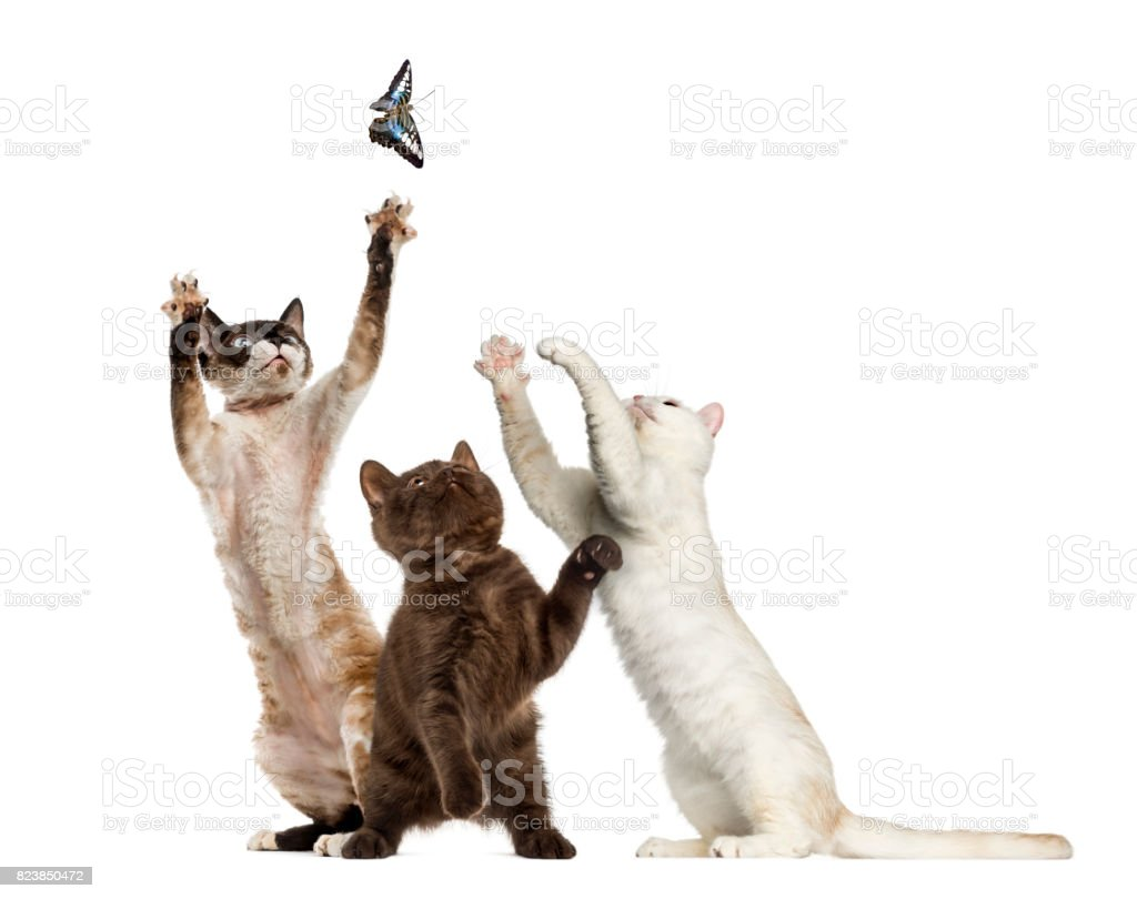 Cats trying to catch a butterfly, isolated on white stock photo