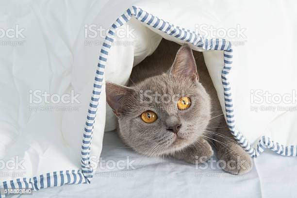 Cats under sheet picture id515802640?b=1&k=6&m=515802640&s=612x612&h=esc5iwaueykr546s0epnop6xpjxo3dhxnnf5hr8prve=