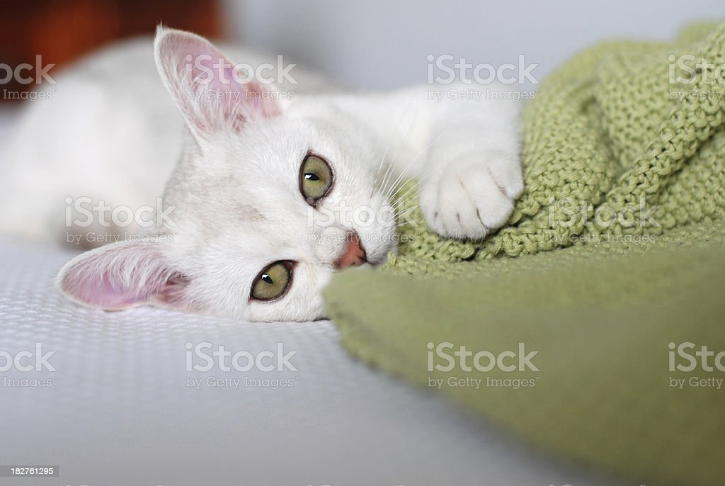 Cats: White Pure Bred Burmilla Kitten with Green Eyes royalty-free stock photo