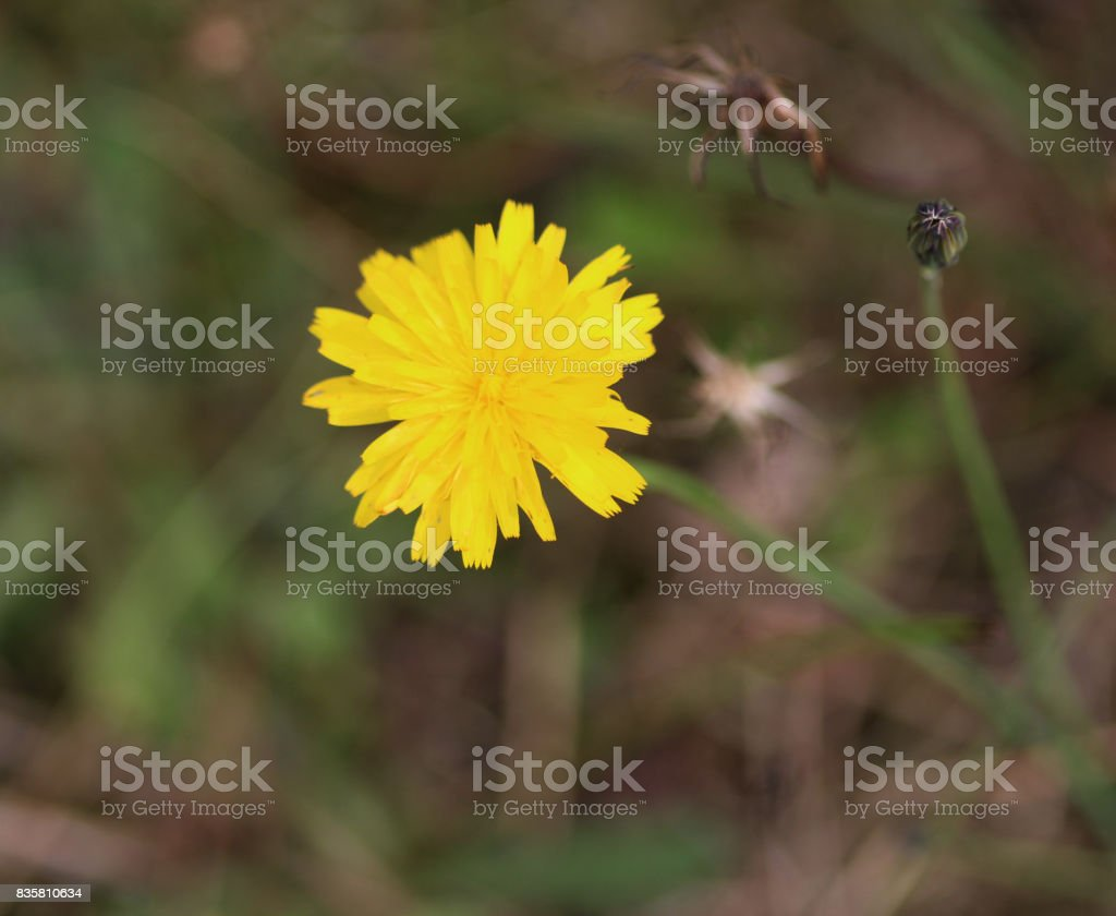 catsear (Hypochaeris radicata) stock photo