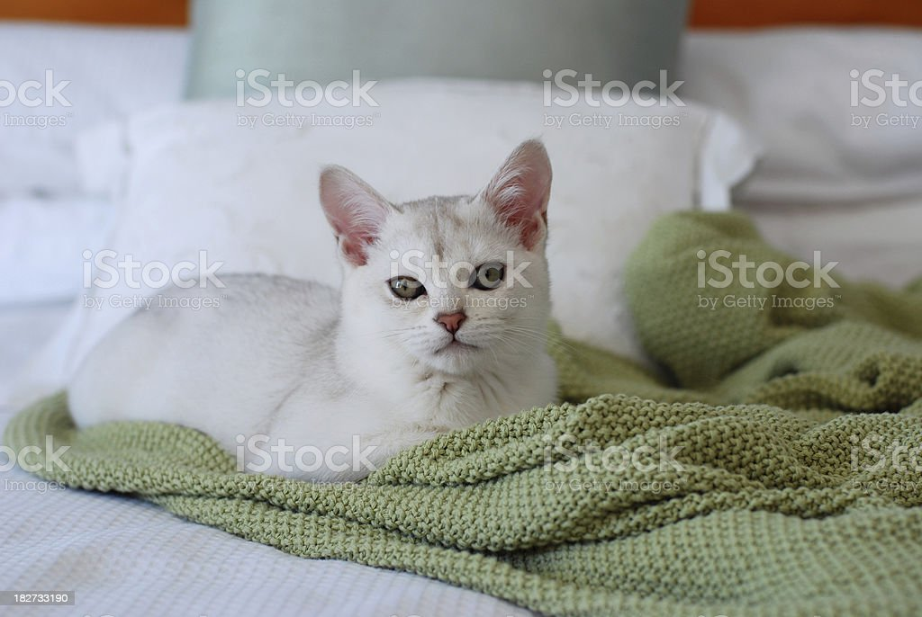 Cats:Gorgeous Burmilla Kitten on White and Green Bed royalty-free stock photo