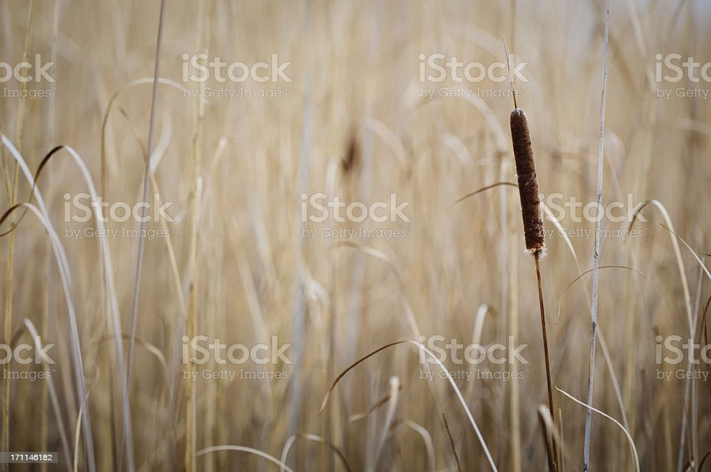 Cattail Background royalty-free stock photo