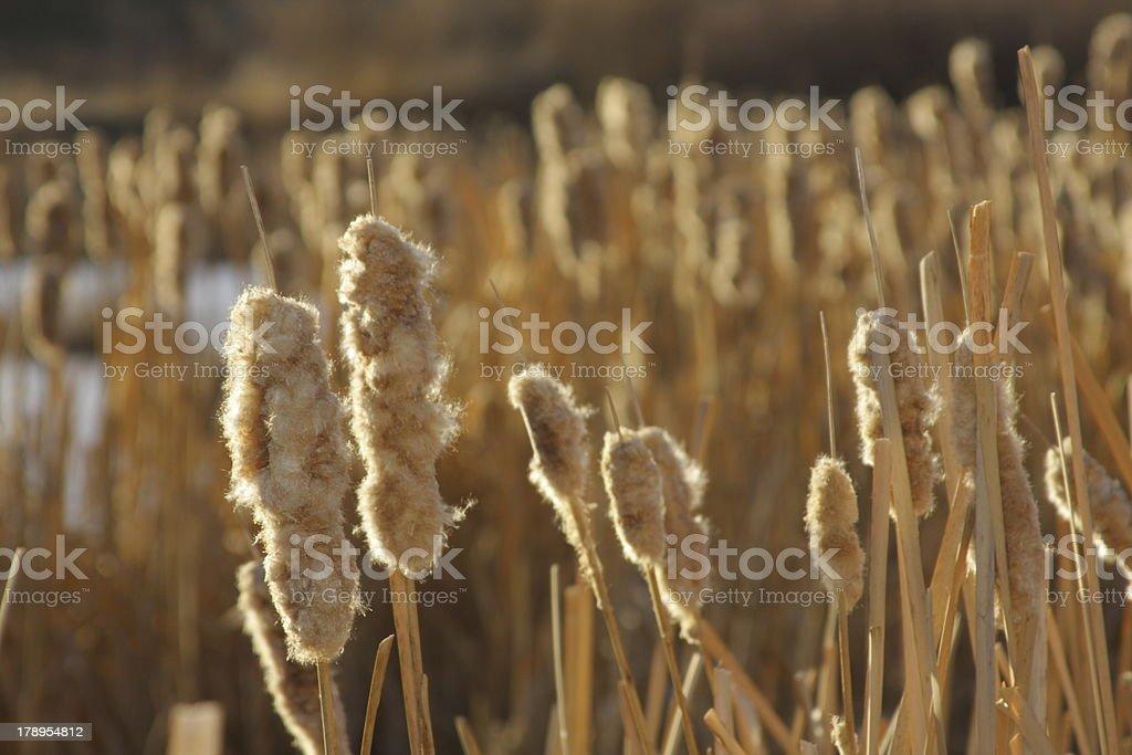 Cattail Disintegration stock photo