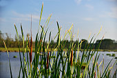 istock Cattail Display at Truits 1264335387