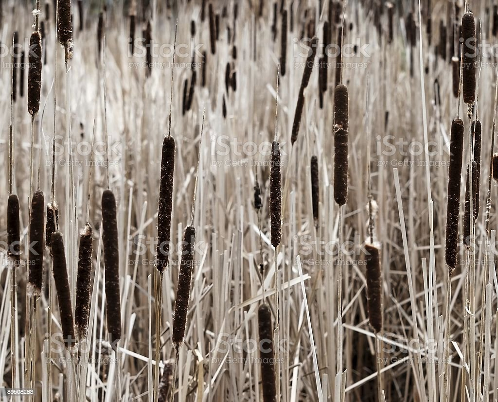 Cattail field royalty-free stock photo