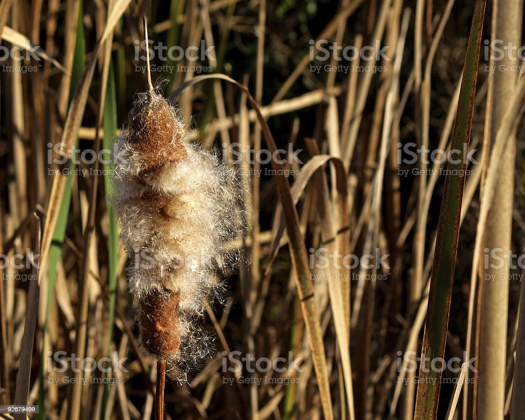 Cattail Going To Seed in Marsh in Pennsylvania stock photo