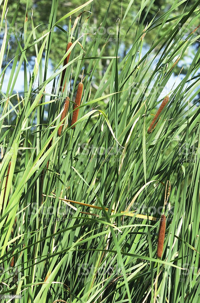 Cattails and Tall Grass royalty-free stock photo