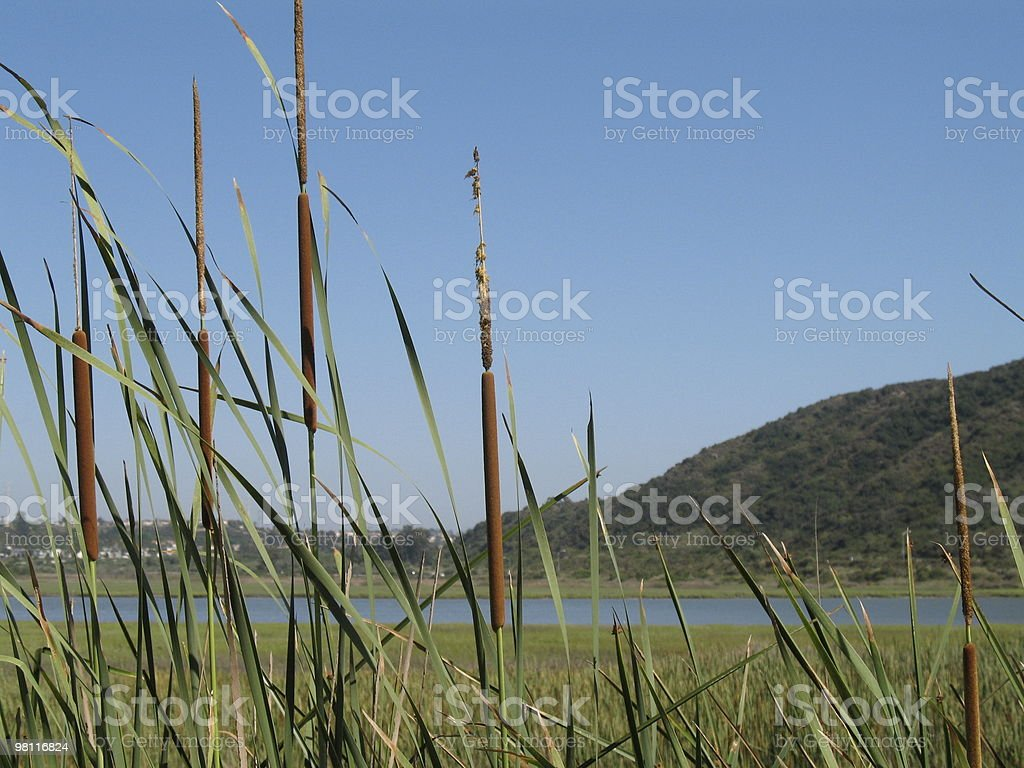 Cattails at the Lagoon royalty-free stock photo